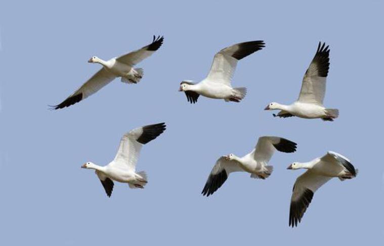 Un vol d'oies sauvages.