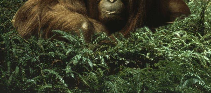 Un orang-outan dans une forêt. (Illustration)