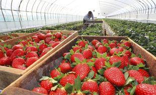 Des saisonniers récoltent des fraises, en avril 2020.
