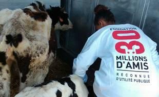 Les vaches avaient été secourues par l'association 30 Millions d'Amis en juin 2015.