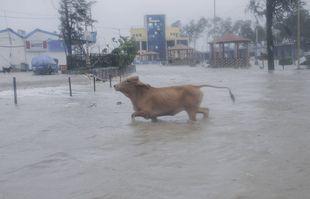 Une vache traverse l'eau à marée haute sur la plage de Digha sur la côte de la baie du Bengale alors que le cyclone Yaas s'intensifie dans l'État du Bengale occidental, en Inde, le mercredi 26 mai 2021