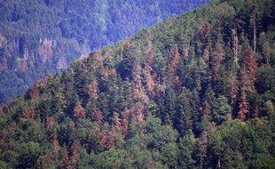 Les forêts vosgiennes sont désormais beaucoup plus bigarrées.