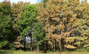 Chênes attaqués par Corythucha arcuata, à côté d'érables. Le contraste des couleurs est saisissant