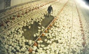 Image tournée par l'association de défense de la cause animale DxE France, dans un élevage de volailles de chair (élevées pour leur chair) en France.