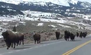 Capture d'écran d'une vidéo sur laquelle des bisons fuient le parc du Yellowstone