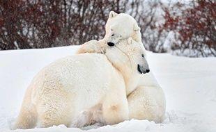 Deux ours polaires se câlinent au Canada, fin 2012.