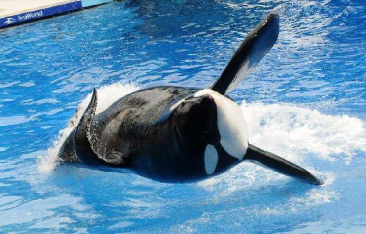 L'orque Tilikum, qui avait tué un dresseur, lors d'une représentation le 30 mars 2011 au parc aquatique SeaWorld à Orlando en Floride – Gerardo Mora Getty