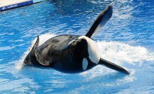 L'orque Tilikum, qui avait tué un dresseur, lors d'une représentation le 30 mars 2011 au parc aquatique SeaWorld à Orlando en Floride