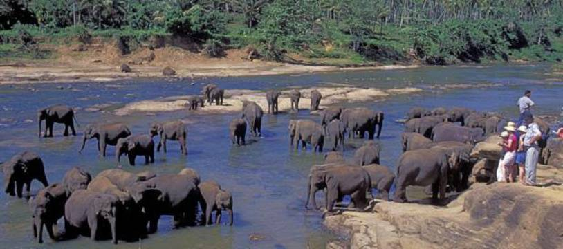 Des éléphants dans une rivière, près de Colombo, au Sri Lanka.