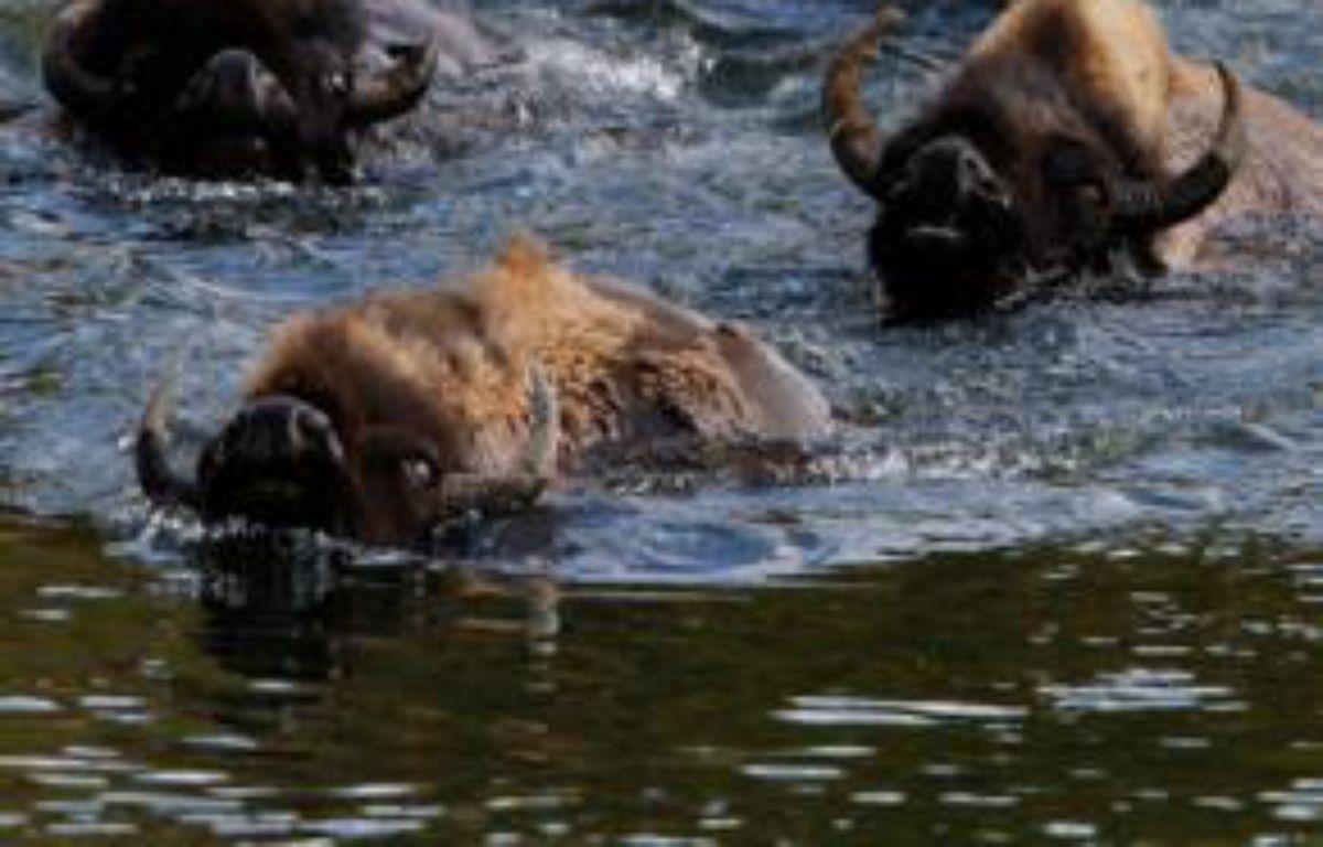 Un troupeau de bisons traverse une rivière dans le parc du Yellowstone, aux Etats-Unis, le 21 juin 2011. Près de 3.000 bisons vivent dans ce parc naturel du Wyoming. – REUTERS/Jim Urquhart
