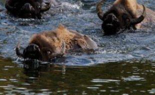 Un troupeau de bisons traverse une rivière dans le parc du Yellowstone, aux Etats-Unis, le 21 juin 2011. Près de 3.000 bisons vivent dans ce parc naturel du Wyoming.
