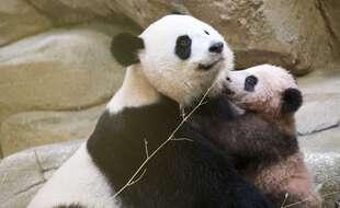 Huan Huan a déjà donné naissance à un premier bébé panda prénommé Yuan Meng.