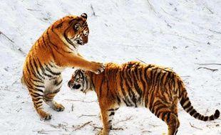 Des tigres de Sibérie dans le centre de Harbin, en Chine.