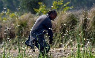 Les paysans tentent de lutter, vainement, contre les insectes.