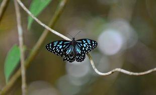 Un papillon Blue Tiger photographié en Australie.