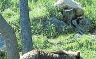Ferus a mis en place une vigie ours.