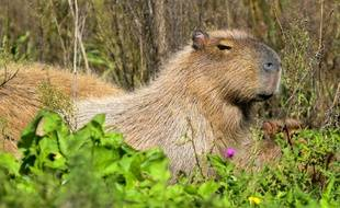 Un capybara en Argentine (photo d'illustration)