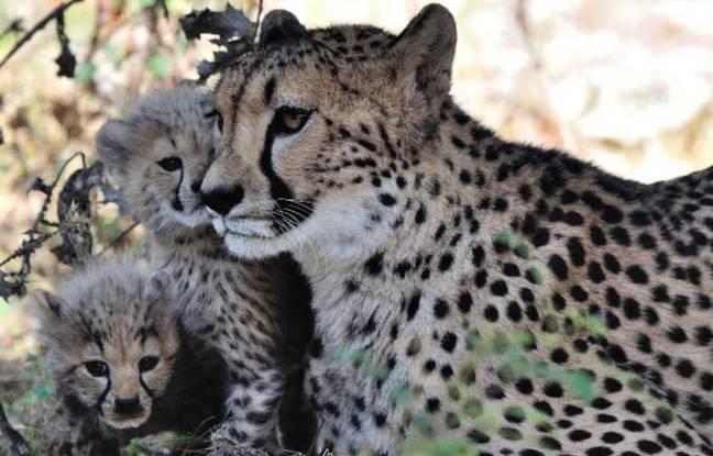 Les bébés guépards de Sigean et leu mère.