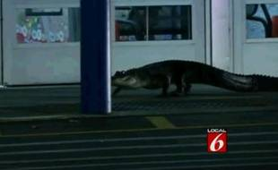 Un alligator s'invite au supermarché, le 22 octobre 2013.