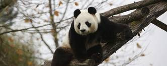 Panda Yuan Zi, father of the new panda born Yuan Meng is pictured at the zoo, in Saint-Aignan-sur-Cher, France, Monday, Dec. 4, 2017.