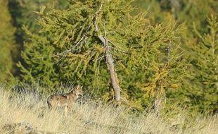 Un documentaire sur le loup est en cours de tournage dans la vallée de la Roya.