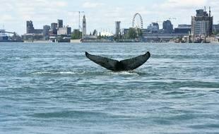 Une baleine à bosse à Montréal, le 30 mai 2020.