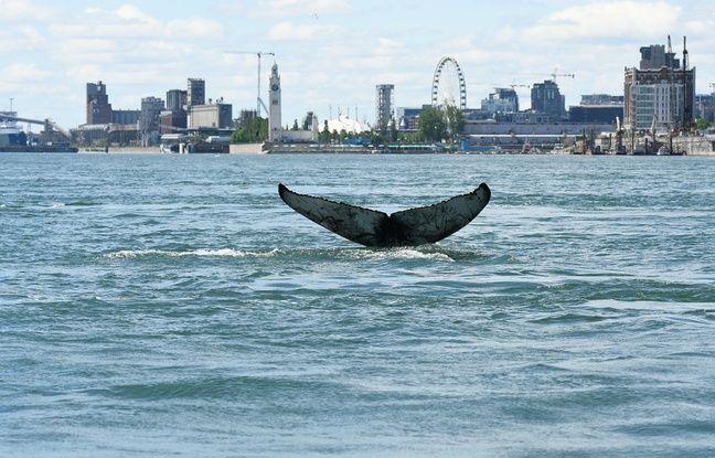 Canada: Une baleine vue près de Montréal est morte, elle aurait été heurtée par un bateau