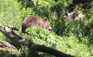 Un ours qui se promène dans les Pyrénées orientales, le 18 juin 2015.