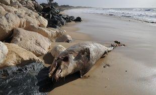 Illustration d'un dauphin échoué en Charente-Maritime