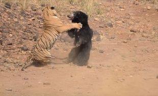 Le combat entre une ourse et un tigre a été filmé dans un parc national en Inde, le  28 février 2018.