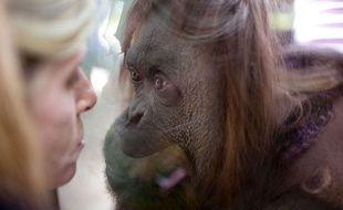 """Sandra, l'orang-outan du zoo de Buenos Aires, a été reconnue comme """"personne non humaine"""", le 22 décembre 2014."""