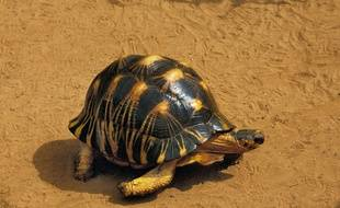 Une tortue radiée.