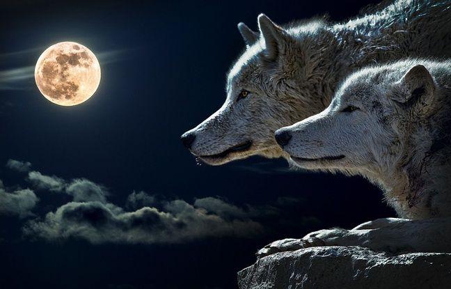 Illustration de loup.