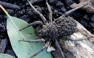 Merveille de la biodiversité australienne : une maman araignée transportant ses bébés sur son dos.