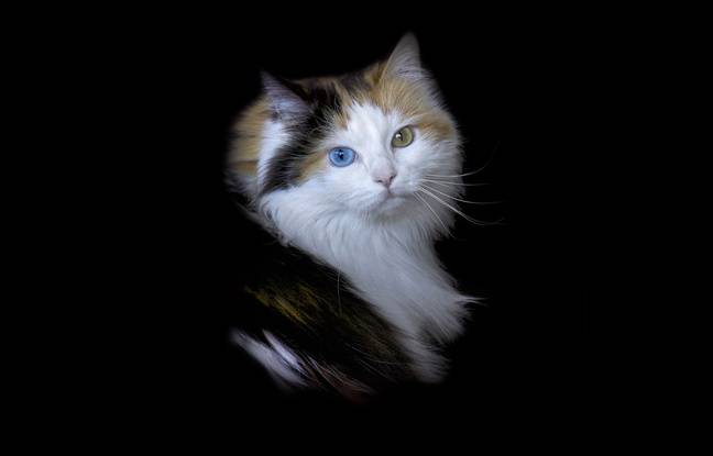 La chatte Minette et ses sublimes yeux bleu et vert.