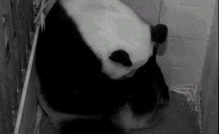Le panda géant né fin août au zoo de Washington