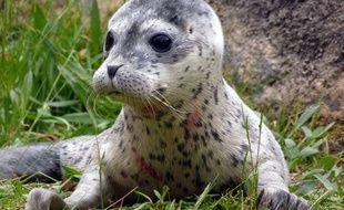 Le bébé phoque baptisé Conchita, né le 11 mai 2014 au zoo de Bruges en Belgique.