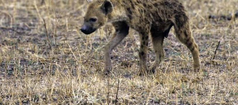 Une hyène, ici en Tanzanie.