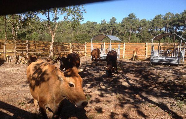 Les vaches marines sont placées dans un enclos avant d'être relâchées dans leur milieu naturel.