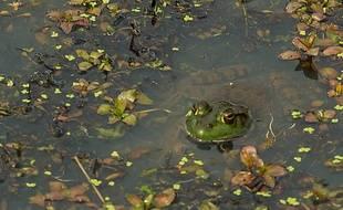 Les grenouilles de la mare feraient trop de bruit pour leurs voisins.