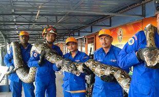 Le python géant a été retrouvé sur un chantier en Malaisie.