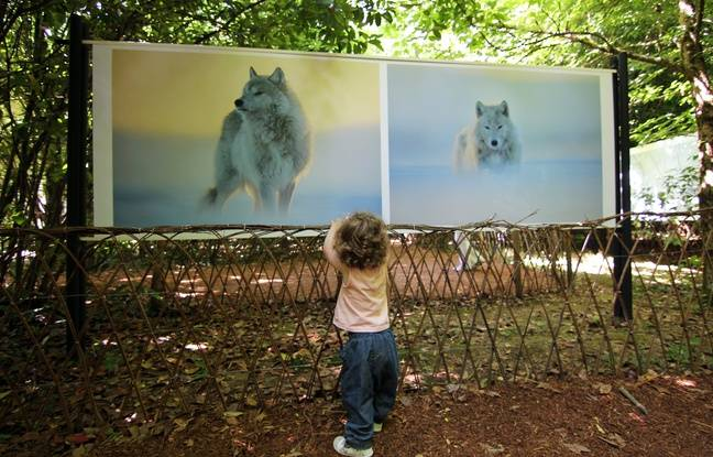 Une petite fille devant les clichés de Vincent Munier exposés au festival photo de La Gacilly.