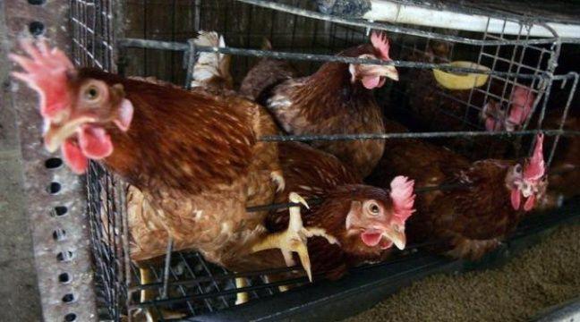 Treize pays europ ens sont somm s d 39 am liorer les for Duree de vie des poules pondeuses
