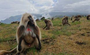 Les singes Gélada vivent sur les hauts-plateaux d'Ethiopie