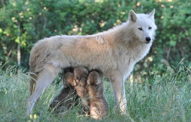 Cinq loups sont nés à Planète Sauvage