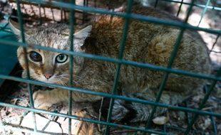 Un chat-renard aux yeux vairons et aux oreilles abîmées par les combats, capturé par l'ONCFS.