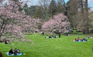 Les cerisiers fleuris du Parc oriental de Maulévrier dimanche 14 mars 2021.