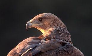 Un aigle de Bonelli juvénile. Illustration.