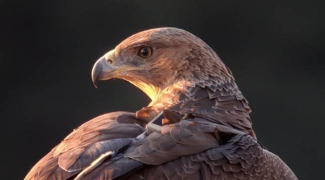 Deux aigles de Bonelli, espèce très menacée, tués dans le Sud-Ouest