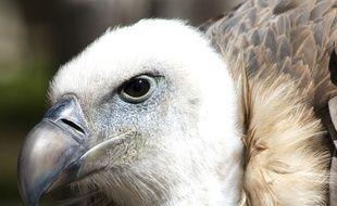 Un des vautours du Rocher des Aigles, qui abrite 500 oiseaux.